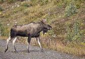 Bull Moose Alberta — Stock Photo