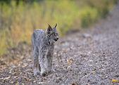 Rocky Mountain Lynx — Stock Photo