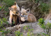 Fox Kits Canada — Stock Photo