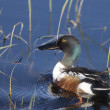 Stock Photo: Northern Shoveler Duck