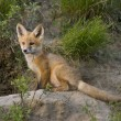 Young Fox Kit - Stock Photo