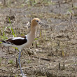 Avocet in Saskatchewan Canada - Stock Photo