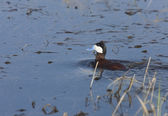 Ruddy Duck in Pond — Stock Photo