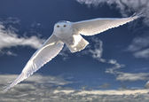 Snowy Owl in Flight — Stock Photo