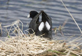 Coot or Waterhen Sitting on eggs — Stock Photo