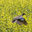 Pintail Duck in Flight — Stock Photo