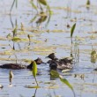Grebe with Babies — Stock Photo