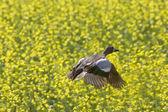 Pintail Duck in Flight — Stock Photo