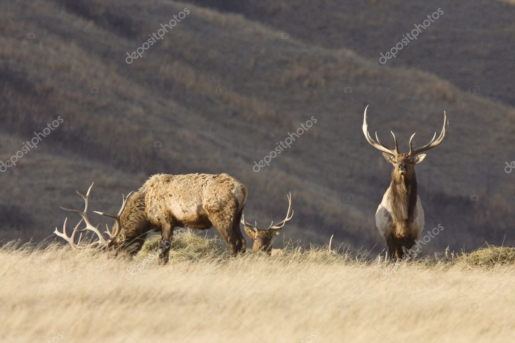 Bull Elk with antlers in Saskatchewan Canada  Stock Photo #9186061