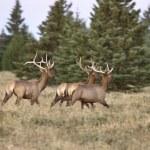 ������, ������: Elk in Cypress Hills Alberta