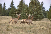 Elk in Cypress Hills Alberta — Stock Photo
