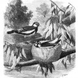 The Pied-Grallina (Grallina australis) and its nest. Drawing-Fre — Stock Photo