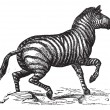Royalty-Free Stock Vektorgrafik: Grant\'s Zebra or Equus quagga boehmi vintage engraving