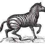 Grant's Zebra or Equus quagga boehmi vintage engraving — Stock Vector #9080528