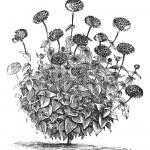 Zinnia double or Zinnia elegans vintage engraving — Stock Vector