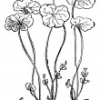 Hydrocotyle vulgaris or Marsh Pennywort, vintage engraving. — Cтоковый вектор