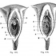 Fig. 609. in the little girl. Fig. 610. in the littl - Stok Vektör