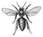 Worker Bee, vintage engraving. — Stock Vector
