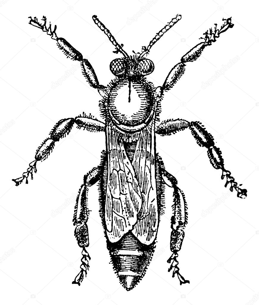 Female or queen bee, vintage engraved illustration. Magasin Pittoresque 1875. — Stock Vector #9089691