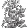 Fig. 173. Berberis or barberries, vintage engraving. — Vektorgrafik