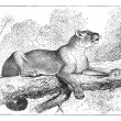 Постер, плакат: Puma or cougar vintage engraving