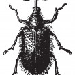 Rhynchites Beetle isolated on white, vintage engraving. — Vettoriali Stock