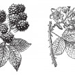 Постер, плакат: Blackberry flower Blackberry fruit vintage engraving