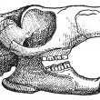Rodent, Jaw of a squirrel, vintage engraving. — Vektorgrafik