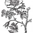 Stok Vektör: Rose of Provins, vintage engraving.