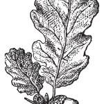Acorn or Oak nut with leaves, vintage engraving. — Stock Vector