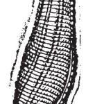 Medicinal leech, vintage engraving. — Stock Vector