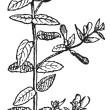 Skullcap of Scutellaria, vintage engraving. - Stock Vector
