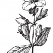 Mock-orange, vintage engraving. — Vector de stock