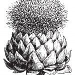 Fig.17. Atichoke or Globe Artichoke, vintage engraving. — Stock Vector