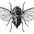 Stock Vector: Fig 14. Cicada, vintage engraving.