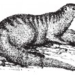 EgyptiMongoose or Herpestes ichneumon vintage engraving — Vector de stock #9092192