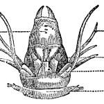 Nereididae or Ragworm, vintage engraving. — Stock Vector #9092216