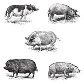 Pigs 1. Pig Siam. 2. Szalonta pig race. 3. Swine York. 4. Pork E — Stock Vector