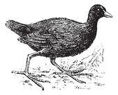 Moorhen, vintage engraving. — Stock Vector