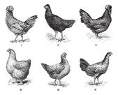 Hens, 1. Houdan chicken. 2. Hen the Arrow. 3. Hen Crevecoeur. 4. — Stok Vektör