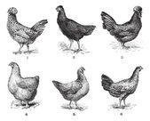 Hens, 1. Houdan chicken. 2. Hen the Arrow. 3. Hen Crevecoeur. 4. — Stockvektor