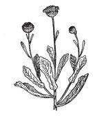 Pulicaria, vintage engraving. — Stock Vector