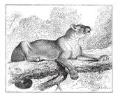 Puma or cougar, vintage engraving. — Vector de stock