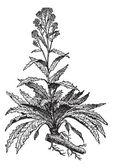 Horseradish or Armoracia rusticana vintage engraving — Stock Vector