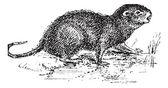 Water Rat, vintage engraving. — Stock Vector