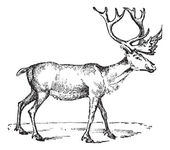 Reindeer, vintage engraving. — Stock Vector