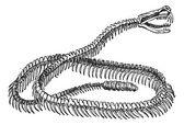 Reptile, Rattlesnake Skeleton, vintage engraving. — Stock Vector