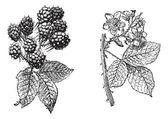 Blackberry çiçek, böğürtlen meyve, antika gravür. — Stok Vektör