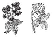 Fiore di blackberry, blackberry frutta, incisione d'epoca. — Vettoriale Stock