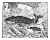 Whale in ocean, vintage engraving. — Stock Vector